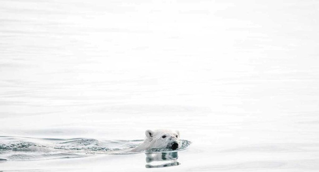 Picture of a polar bear swimming in open water. Photo by Annie Spratt.