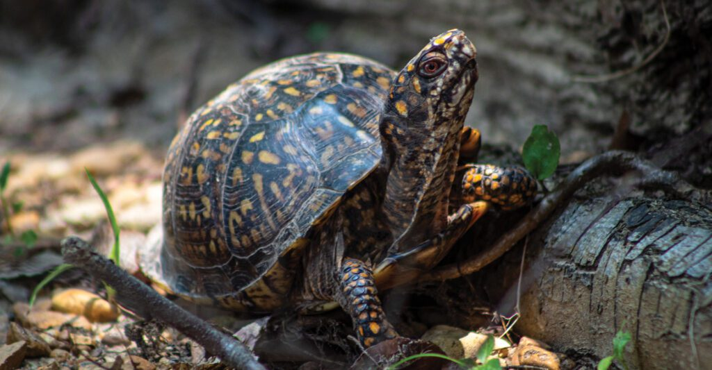 Picture of a Box Turtle. Photo by Joshua J. Cotten.