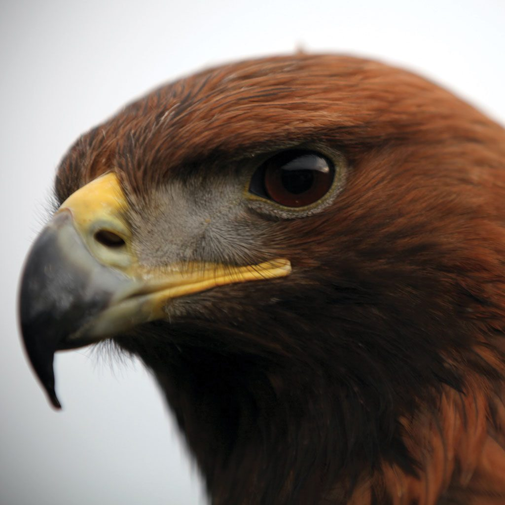 Photo of a Golden Eagle, close up. Photo by Craig Hughes.